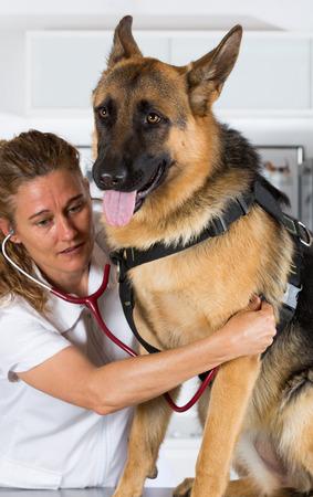 perro asustado: Veterinarios con un perro pastor alem�n de realizar el reconocimiento en la cl�nica