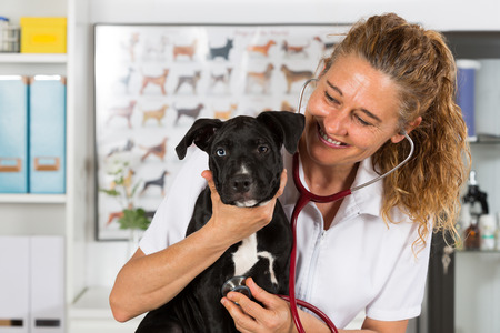 Veterinarian conducting a review with your dog American Staffordshire