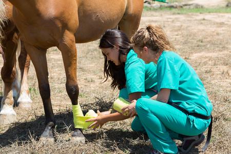 Veterinary horses on the farm doing healing work on one leg