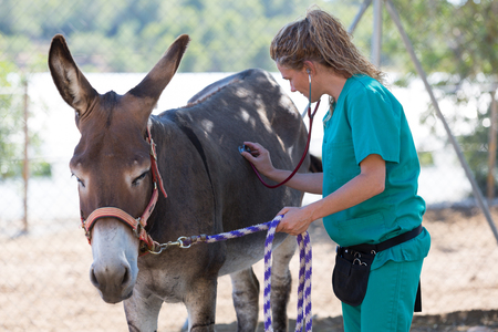 jackass: Veterinary performing a medical examination to a donkey