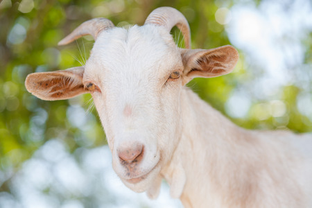 Close up of a typical Catalan Pyrenees Goat