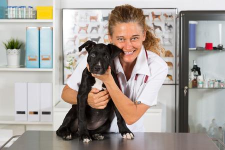 perro asustado: Veterinario realización de un examen con su perro American Staffordshire