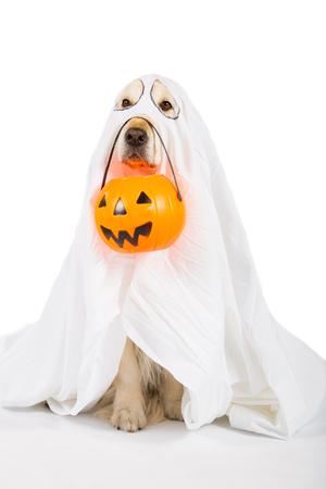 cucurbit: Golden Retriever disguised as a ghost with a Halloween pumpkin