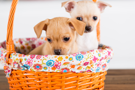 Two chihuahuas puppies in a basket with white background