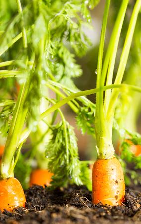 finocchio: Carote fresche nel suo cespuglio per essere raccolti