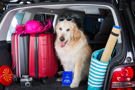 Golden Retriever in the boot of the car ready to leave home Stock Photo