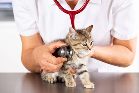 Veterinary clinic and kitten playing with phonendoscope