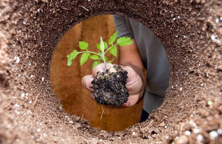 Planting a tomato plant in an organic garden