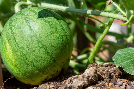 Ecological and sustainable watermelon plantation