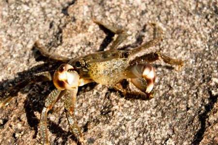 attacker: sea crab standing in defensive stance to ward off an attacker