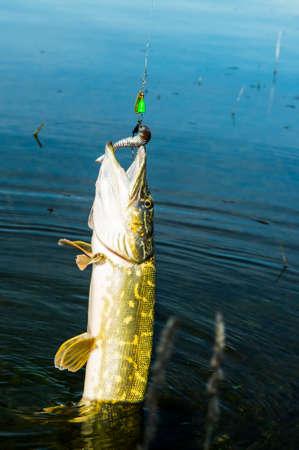 cunning: pike predatory and cunning fish