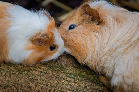 Close up image of two guinea pigs that seem to kiss eachother.