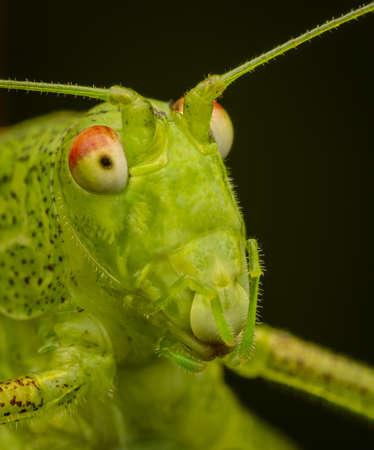 Macrophotography of a Sickle-bearing bush-cricket (Phaneroptera falcata).