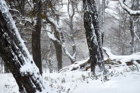 Snowy forest of dry trees with big trunks on the Bayo Hill (Cerro Bayo), touristic destination in Villa La Angostura, Neuquen, patagonia region of Argentina.