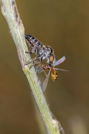 Dipterous hunting flying ant