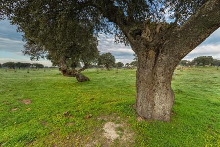 Landscape in the dehesa de Arroyo de Luz. Extremadura. Spain.