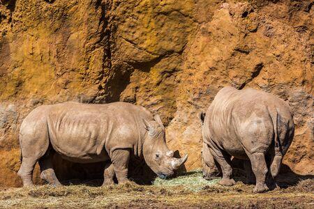 Rhinoceros is any mammal in the family Rhinocerotidae