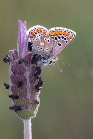polyommatus icarus: Polyommatus icarus. Butterfly photographed in their natural environment.