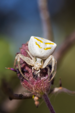 White Crab Spider in their natural environment.