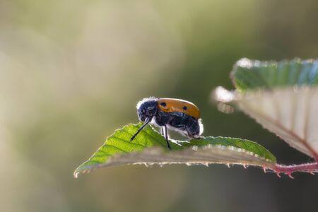 Lachnaia sexpunctata. Beetle six points in their natural environment. Stock Photo