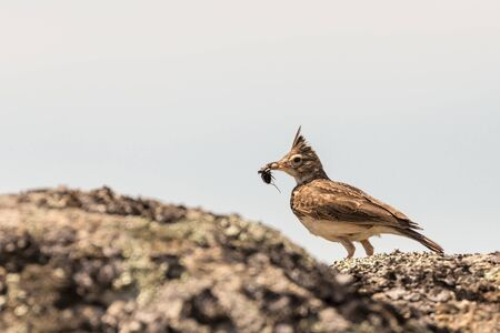 Crested Lark with insect in the peak.