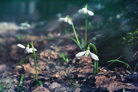 snowdrops: snowdrops, Spring, freshness, forest