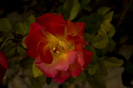 a rose of different pink and yellow tones photo