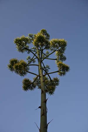 piter: Piter flower on a sky blue Mediterranean
