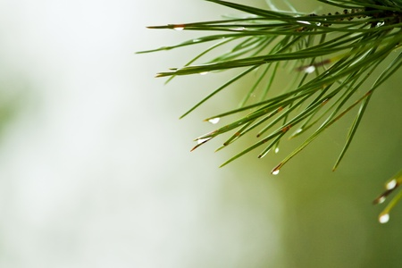 Dew on Pine Needles Stock Photo