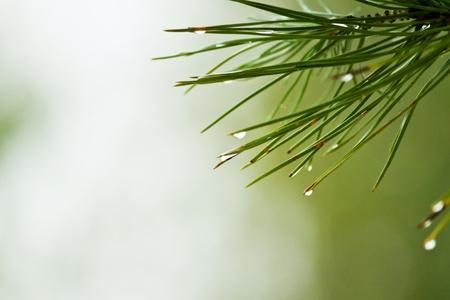 branche pin: Ros�e sur les aiguilles de pin