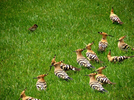 alone in crowd: A House Sparrow  passer domesticus faces a crowd of Hoopoes  upupa epops