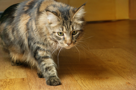 Beautiful fluffy Maine Coon cat with green eyes walking around the room Фото со стока