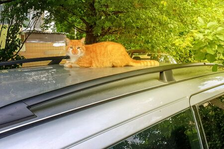 Fluffy red cat lies on the silver roof of the car