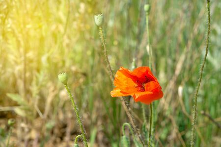 Blooming red poppy in a sunny meadow.
