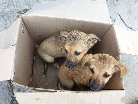 Two stray puppy in a cardboard box.