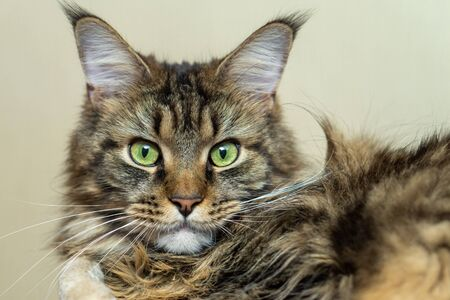 Portrait of a beautiful cat with green eyes. Maine Coon, close-up portrait