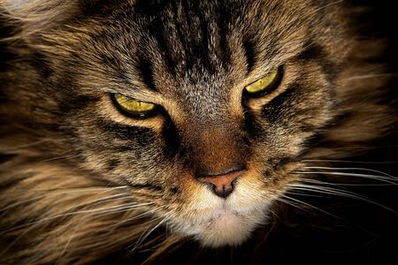 Portrait of a cat. Maine Coon with green eyes close-up Foto de archivo