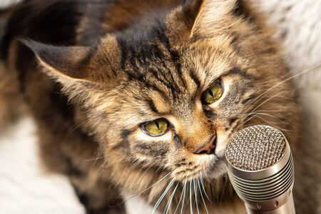 Portrait of a cat with a microphone. Funny maine coon cat singing a song.