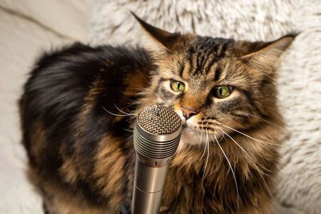 Cat and microphone. Funny maine coon cat singing a song