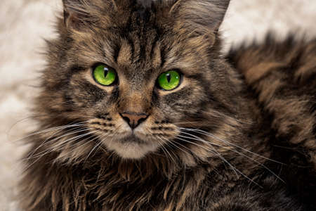 Maine coon portrait, beautiful cat on the couch