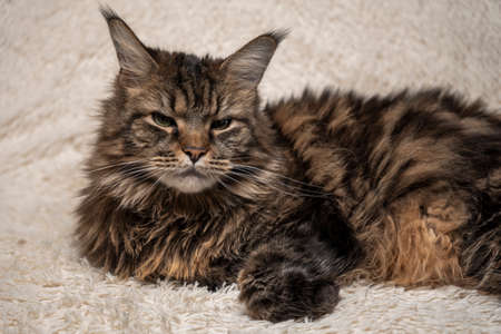Beautiful cat on the couch, Maine coon portrait