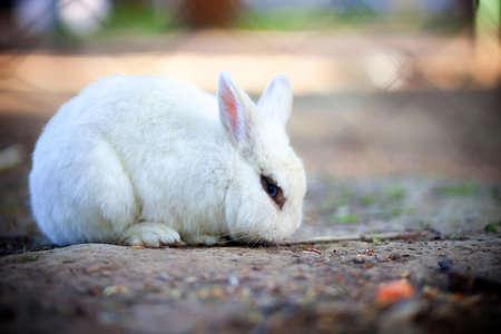lapin blanc: Un beau lapin blanc aux yeux bleus