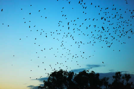 dark sky: The flock of crows fly over a tree. Stock Photo