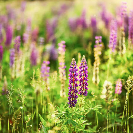 lupins: The Beautiful flowers a lupins in nature.