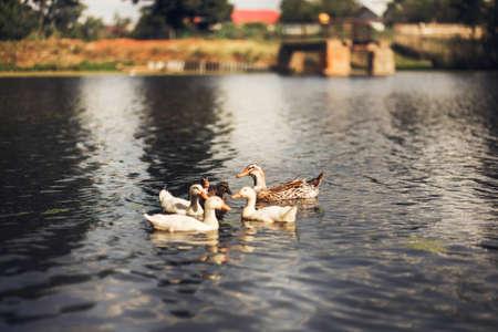 The family of ducks swim in the pond.