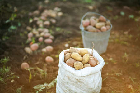 A full sack of potatoes in the field.