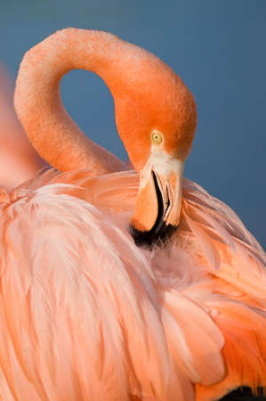 Grater Flamingo photo