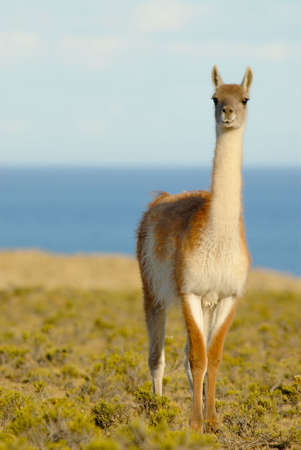 guanaco: Lonely Guanaco in Patagonia