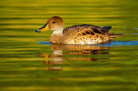 anas: Yellow-billed Pintail (Anas georgica)