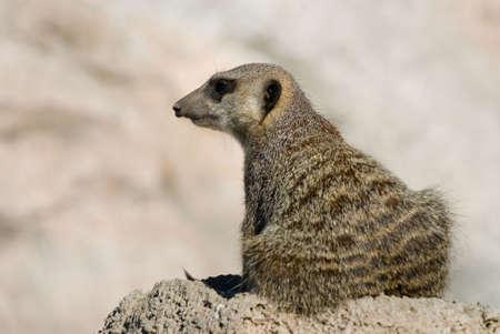 Suricate or meerkat (Suricata suricatta)  photo